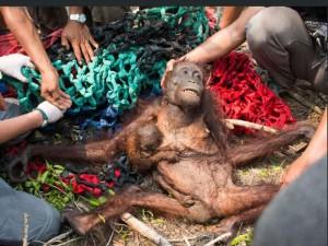 """Mama Anti ir jos kūdykis / International Animal Rescue nuotr.  Viena iš pagrindinių orangutangų rūšies nykimo priežasčių – miškų deginimas, norint pasodinti plantacijas, tam kad būtų palaikoma pasaulyje neišsenkanti palmių aliejaus paklausa.  Orangutangai išnyks iš mūsų planetos per ateinančius 10 metų, jei nebus imamasi išsaugoti Indonezijos ir Malaizijos miškų, kur ši gyvūnija gyvena, įspėja gyvūnų išsaugojimo organizacija.  Tarptautinė gamtos apsaugos sąjunga (IUCN) praeitą mėnesį paskelbė, kad Bornėjos orangutangai oficialiai buvo priskirti prie kritiškai baigiančių išnykti gyvūnų, taip prisijungdami prie kitos rūšies, Sumatros orangutangų esančių tame pačiame saraše.  Vos per 25 metus daugiau nei ketvirtadalis Indonezijos miškų (76 milijonai arų), maždaug Vokietijos dydžio teritorija, išnyko.  Viena to pagrindinių priežasčių buvo tai, kad norėta atlaisvinti vietos aliejinių palmių plantacijai. Jų aliejus panaudojamas įvairuose daug kasdien suvartojamų produktų skoniams pagardinti, jis panaudojamas ant čipsų, picų, makaronų ir spurgų bei kitų prekių tokių, kaip dantų pasta, šampūnas ir dezoderantai gamybai.  Kiek anksčiau šiais metais ,,Greenpiece"""" apkaltino didžiasias firmas, tokias kaip Pepsico, Johnson & Johnson ir Colgate-Palmolive dėl to, kad jos neužtikrino, jog jų produktuose nebūtų aliejinių palmių ekstratų, užaugintų išnaikintų miškų vietose.  Alan Knight, Tarptautinės Gyvūnų išgelbėjimo (IAR) kompanijos, turinčios centrą Bornėjoje, labdaros organizacijos vadovas perspėjo, kad orangutangai dabar yra ,,ant visiško išnykimo slenksčio"""".  ,,Jei ir toliau dabartinis atogrąžų miškų naikinimas tęsis, tada aš visiškai neturiu vilties, kad orangutangai išliks gamtoje,"""" jis sakė.  Paklaustas, kiek ilgai galbūt jie išgyvens, Ponas Knight sakė: """"Turbūt apie dar 10 metų, jei nesustabdysime naikinimo. Sunku nepasiduoti matant, kad mes pralaimime.""""   Kartais gaisrai miškuose nutinka natūraliai, tačiau kai kurie gaisrai yra sukeliami tyčia norint atlaisvinti vietą alie"""